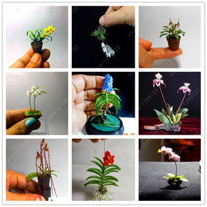 100-Pcs-bag-rare-Mini-Orchid-Seeds-phalaenopsis-orchid-Indoor-Miniature-garden-bonsai-flower-seeds-orchid.jpg